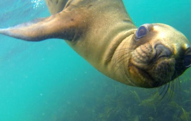 lobo-marinho-mergulhando