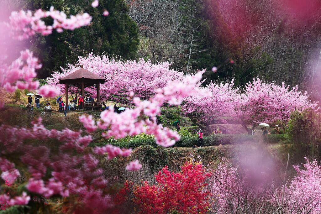 taiwan cerejeiras